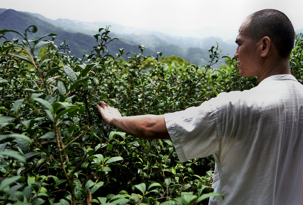 Deng Sha Gao surveys wild tea.
