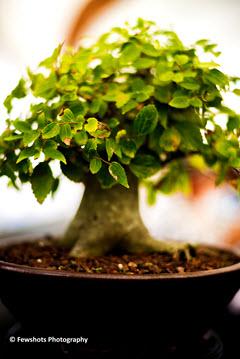 Thirty-year-old Celtis Sinensis bonsai