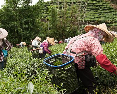 Taiwan high-mountain wulong tea pickers