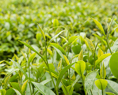 Tea leaves for making Alishan Zhulu tea in Shizhao, Taiwan