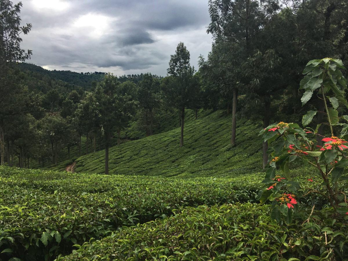 A pointsetta on the edge of a teafield.
