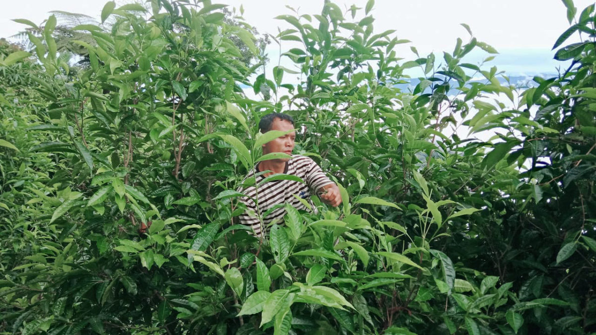Tunpu from Santing village, busy at work plucking wild tea leaves. Photo courtesy Forest Pick.