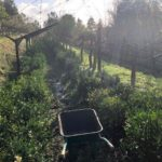 Cultivating tea plants