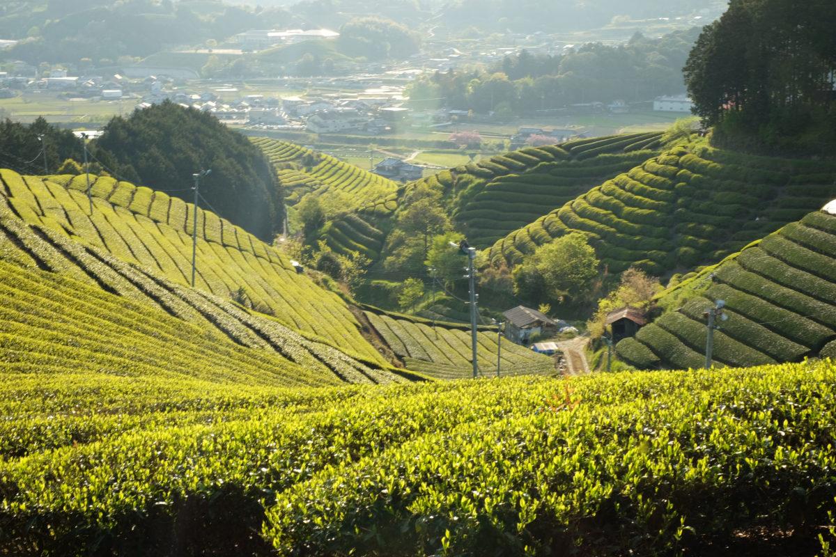 Tea fields in Wazuka Kyoto, GJTEA
