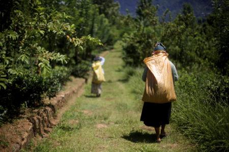 Pluckers on way to Amba Tea Garden