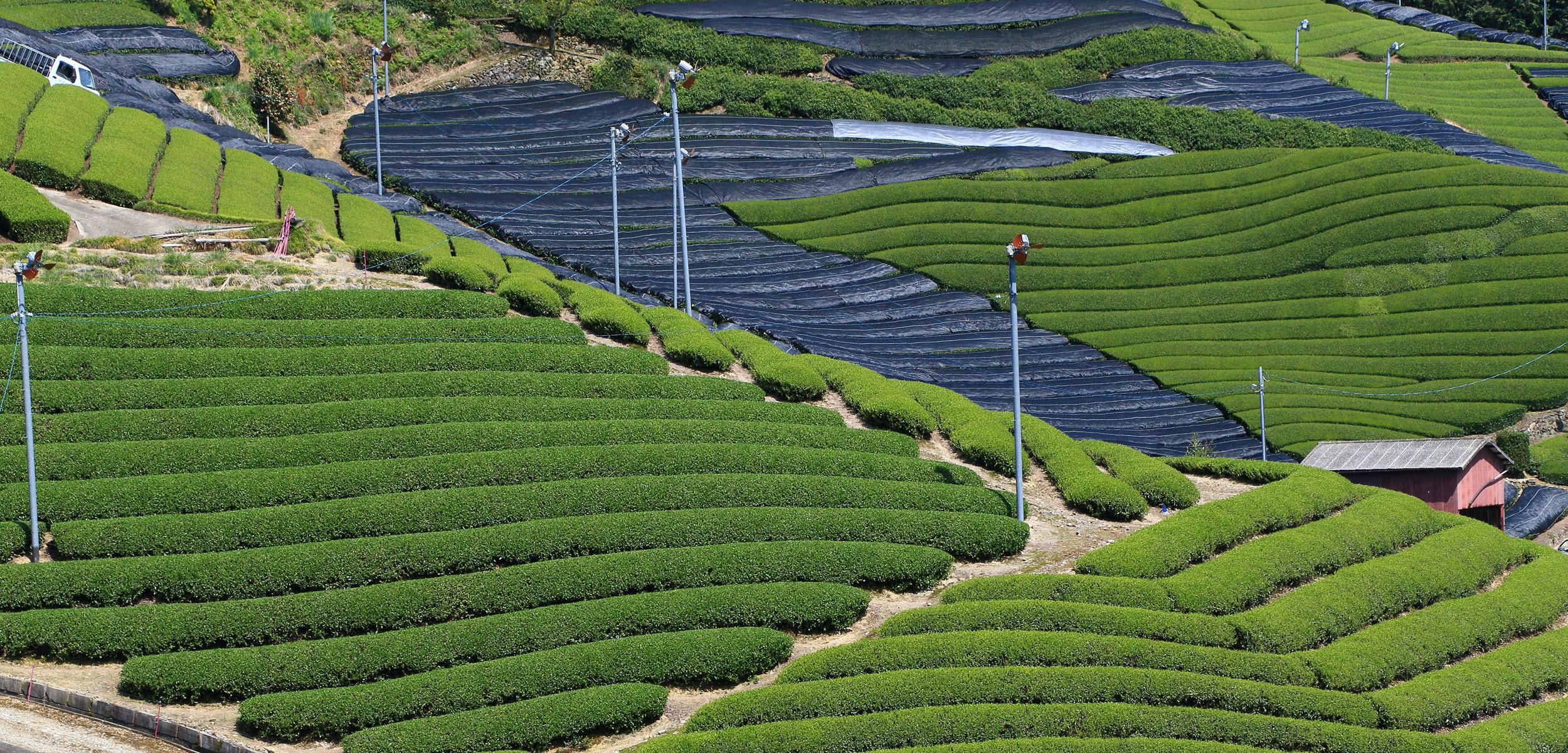 Kyoto Tea Farm