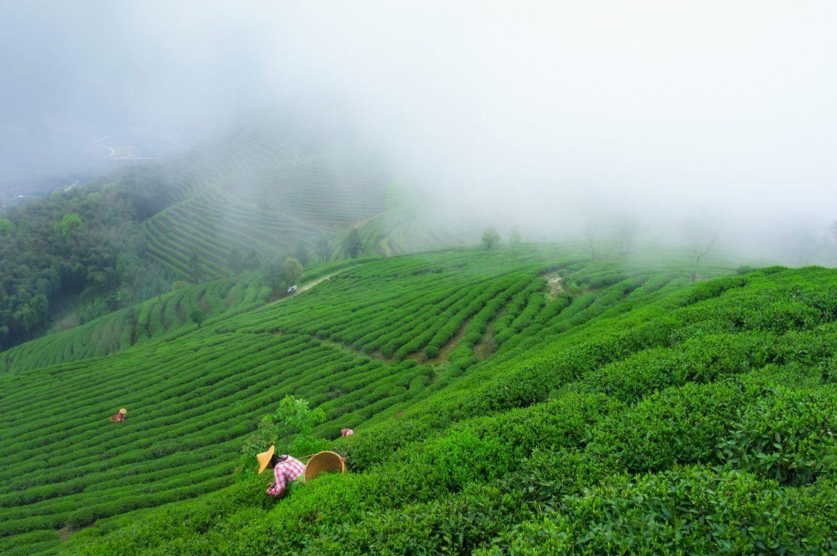 Fu'an tea garden