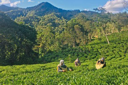 Tea Garden in Bolivia