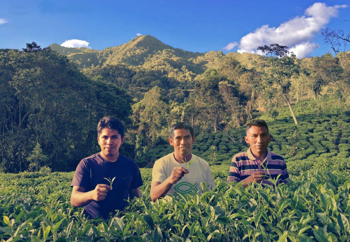 Té de Montaña