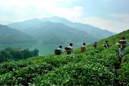 Bolivian Tea Garden
