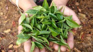 Darjeeling Tea Leaves