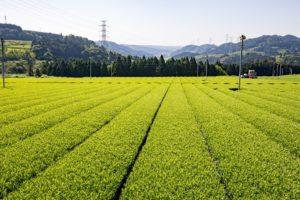 Maruyama Tea Fields in Shizuoka, Japan