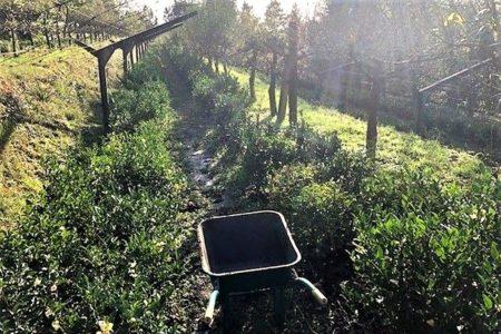 PiPa Cha Tea Garden Portugal