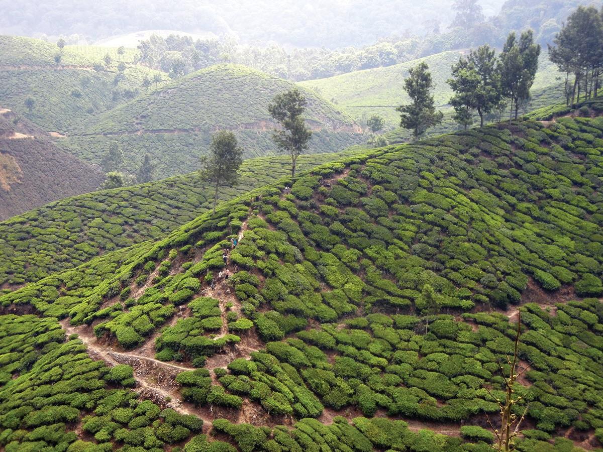 KDHP Tea Garden
