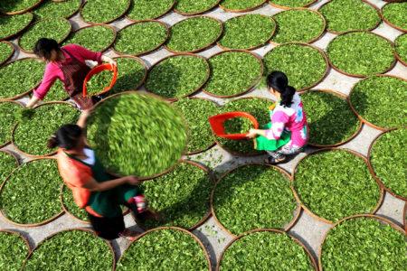 Fujian Tea Drying