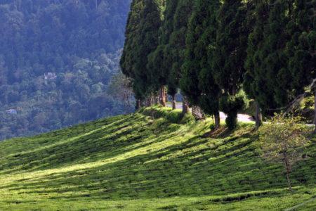 Temi Tea Estate, Sikkim India