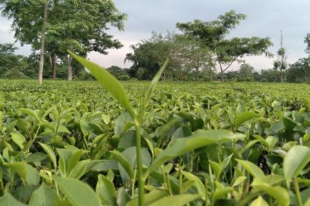 Cinnamara Tea Gardens