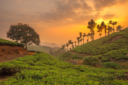 Tea plantation in Munnar, Kerala.